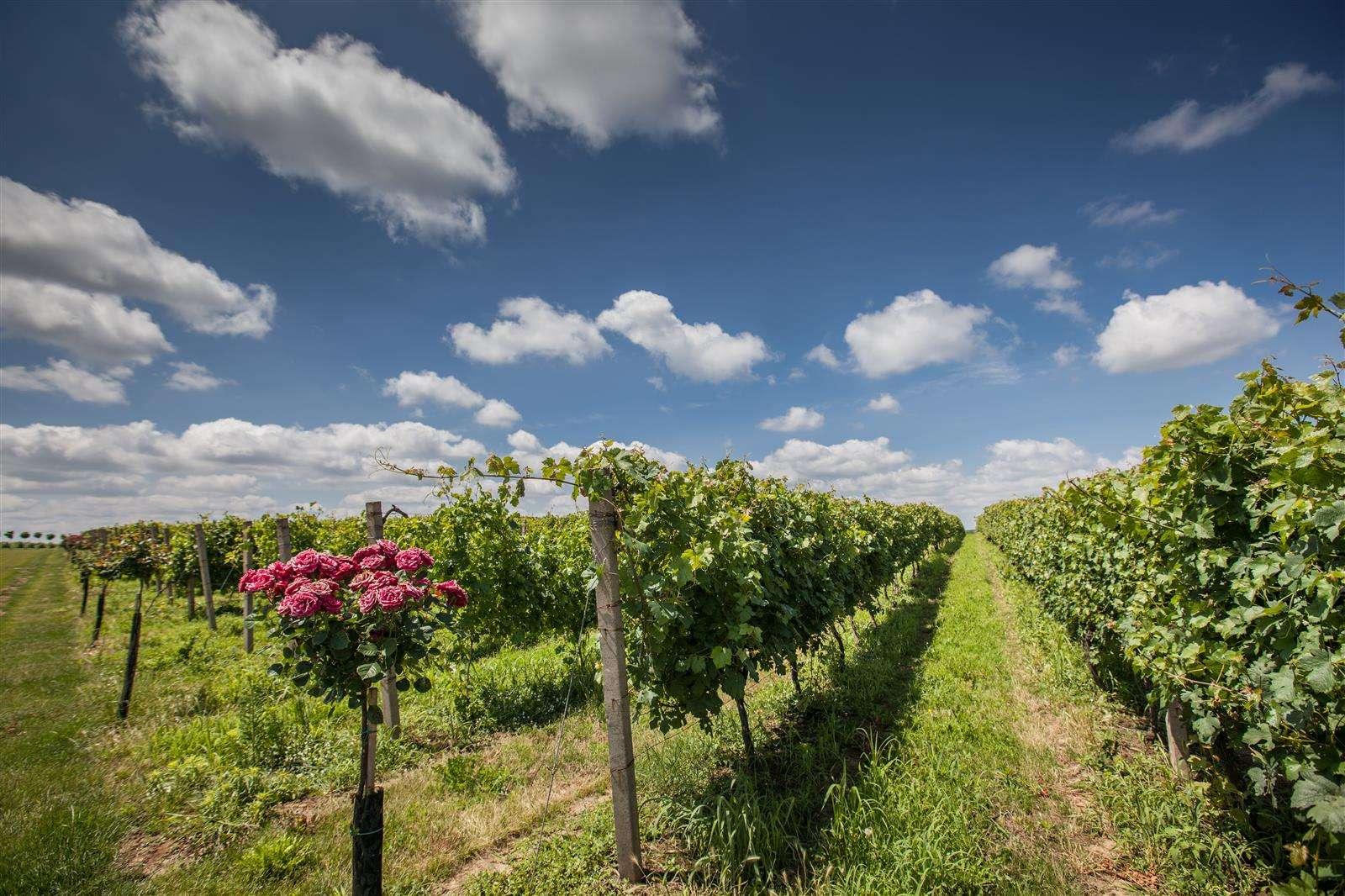 Estate Principovac in Ilok,vineyard